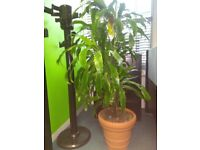 Selection of 9 Free Standing Real Plants Removed From Offices - Price Includes VAT