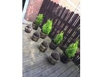 Wooden Pots including Trees and Wall Planters