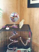 6 month old cockatiel