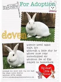 Male argente rabbit, 1yr, in local rescue looking for rehoming