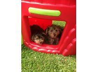 2yorkshire terrier puppies