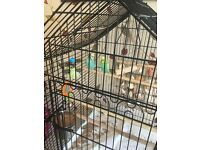 2 stunning budgies and large cage