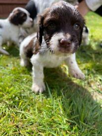 3 sprocker puppies