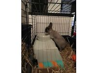 Free 6 months doe Netherland Dwarf, comes with everything you would need.