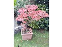 Red Maple tree contained in a large square terracotta planter