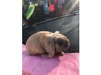 Rabbit male