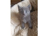 Adorable half Russian Blue female kitten
