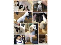 Chinese crest powder puff X long haired chihuahua only two boys left