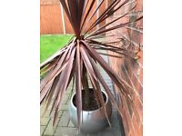 Cordyline in a aluminium pot