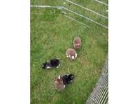 Pure mini lop bunnies