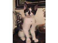 4 fluffy B&W kittens for sale!