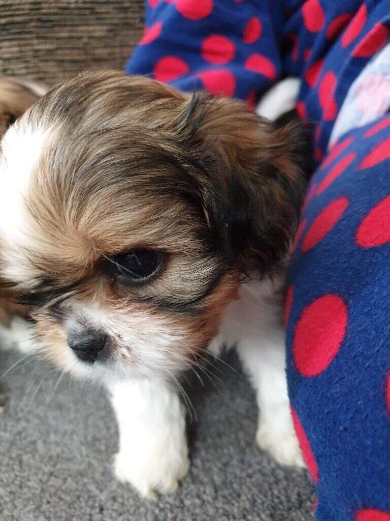 Shih tzu babies full but no papers  400 boys 450 girl | in Pontefract, West  Yorkshire | Gumtree