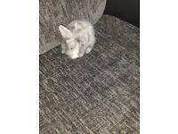 Dwarf lop Doe young rabbit