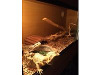 Bearded Dragons and complete viv set up