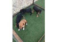 Patterdale x parsons terrier puppies