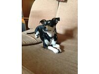 Gorgeous 1 year old jack Russell cross male