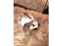 Stunning Pure Lop Bunnies For Sale,