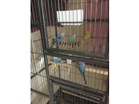 Budgies 2 females and 6 males with a big cage . 20£ each and if you want them all 220£