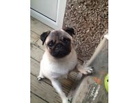 Male and female pugs for sale as a pair