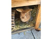 Free to good home 2 lion head rabbits