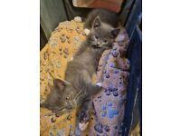 British Blue & White short hair kittens
