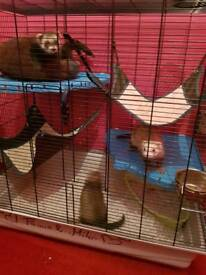 *SOLD* Ferrets with a Cage and accesorise