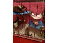 Ferrets with a Cage and accesorise