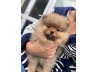 Teddy Pomeranian puppy