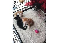 Oriental X Kittens