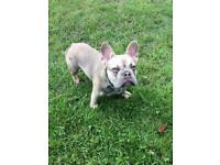 4 month old male top quality french bulldog.