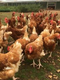 Laying Lomond Chickens