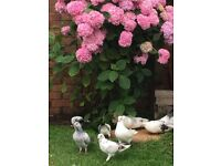 Range of Chickens/Birds/Pigeons for Sale