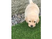 Golden Labrador retriever puppies