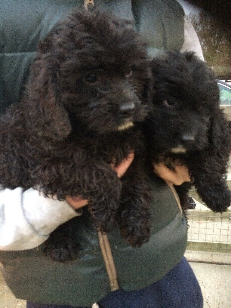 Beautiful cockerpoo puppies for sale