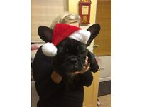 *X-MAS PRICE* Cute KC Frenchie Bulldog pups For Sale!