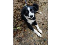 Friendly 2 year old female collie