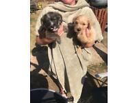 Cairne terrier x patterdale terrier