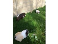 Guinea Pigs - Mother and 2 daughters