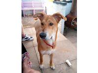 8 month old doberman ridge-back pup for sale