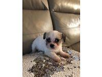 Beautiful Bichon x chug puppies for sale