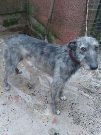 beddy dearhound greyhound for sale