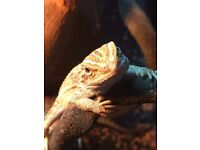 Baby Bearded Dragon Qty 2