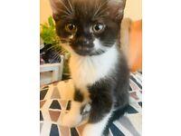Sweet mini medium hair baby girl kitten for sale