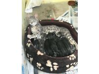 F4 Beautiful Bengal kittens 3 boys and 2 girls