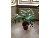 Kentia Palm in good condition with new shoots
