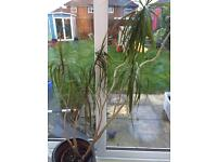 Free house plant - needs re potting