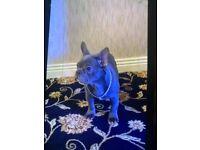 French bulldog Royal blue