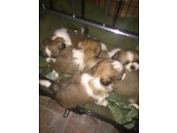 Stunning 5 generation pedigree shis tzu puppies
