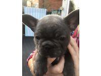 French Bulldog pups READY 27th OCTOBER