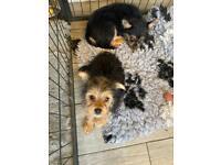 Female Pomeranian Yorkshire terrier porkie porky puppy